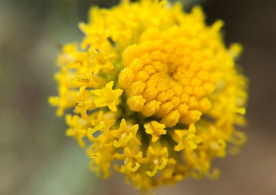 サントリナの筒状花