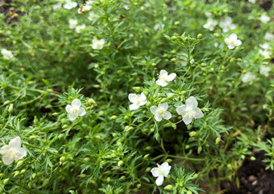 白花のリトルチュチュ