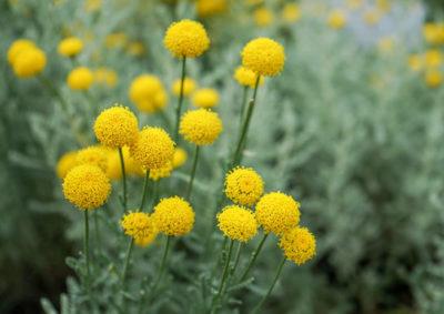 サントリナの花