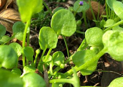 イオノプシジウム(イオノプシディウム)の葉