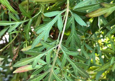 ウインターコスモスの葉
