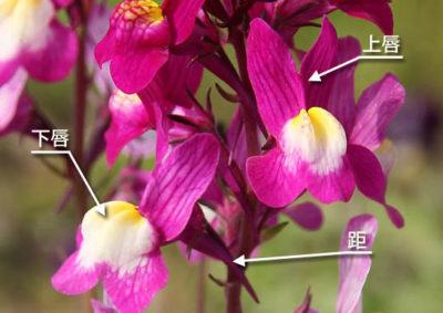 リナリアの花の構造