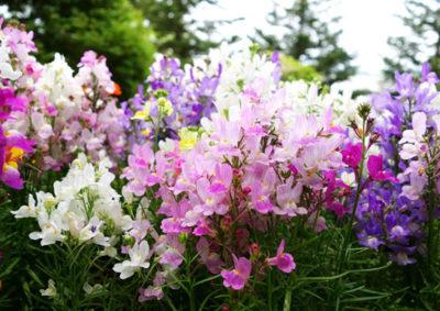 リナリアの花壇
