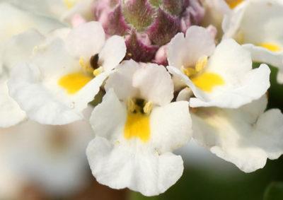 リッピアの唇形花