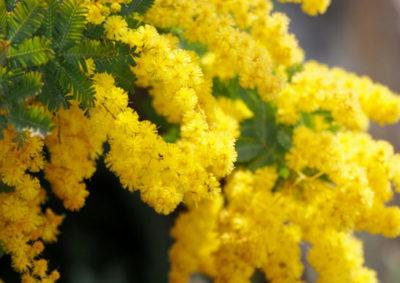 ミモザ(ギンヨウアカシア)の花序