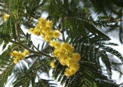 フサアカシアの葉の様子