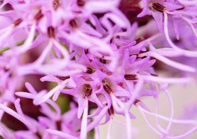 リアトリスの花