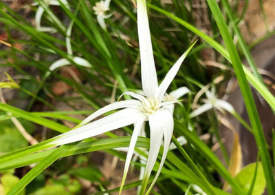 シラサギカヤツリの花と苞