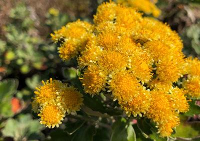 イソギクと家菊の交雑種