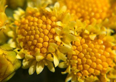 イソギクと家菊の交配種