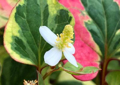 ゴシキドクダミの花