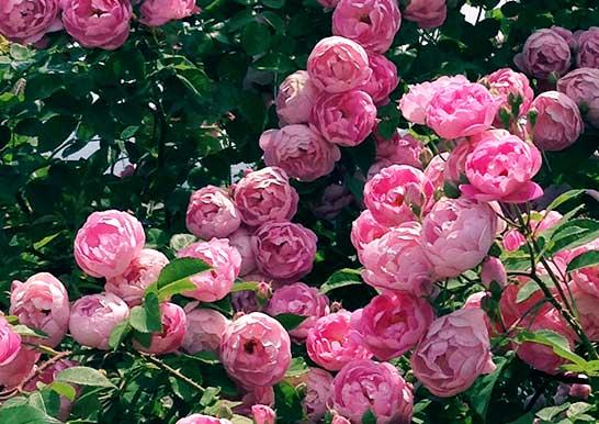 ドーム仕立てのバラ【ロードリッター】
