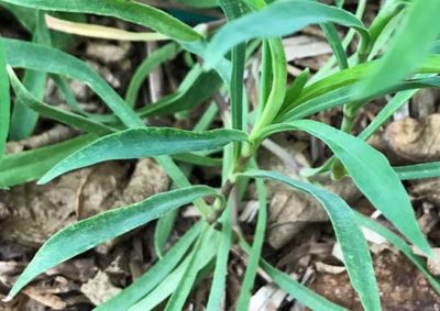 カワラナデシコの葉