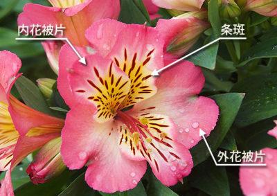 アルストロメリアの花の構造