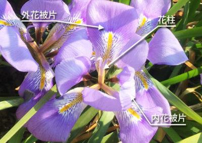 カンザキアヤメの花の構造