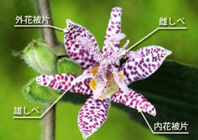 ホトトギスの花の構造