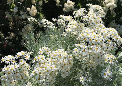 シルバーレースの花
