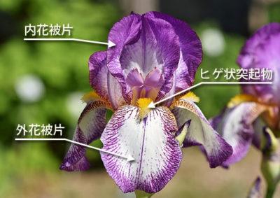 ジャーマンアイリスの花の構造