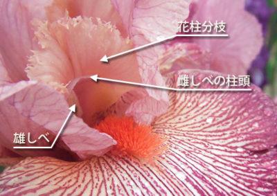 ジャーマンアイリスの花柱分枝