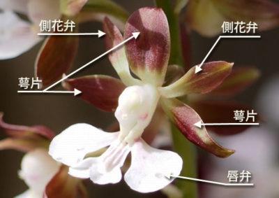 エビネの花の構造