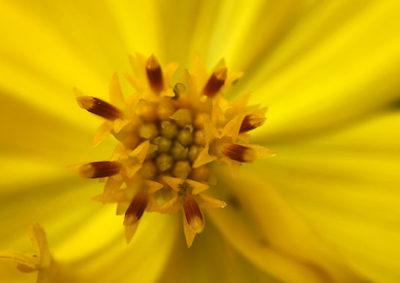 キバナコスモスの筒状花