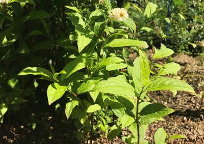 コバノズイナの葉