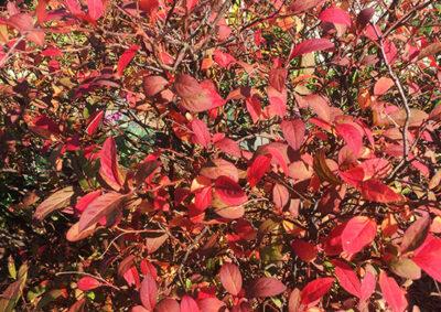 コバノズイナの紅葉