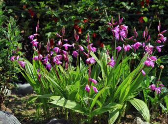シラン 紫蘭