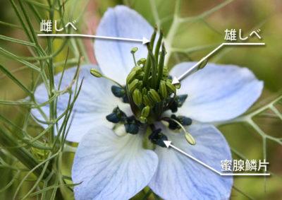 ニゲラの花の構造