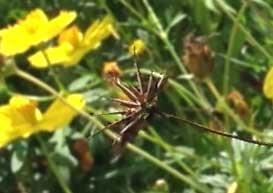 キバナコスモスの種