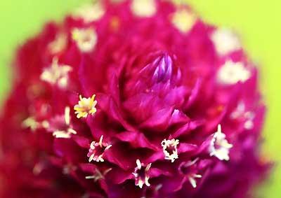 センニチコウの花