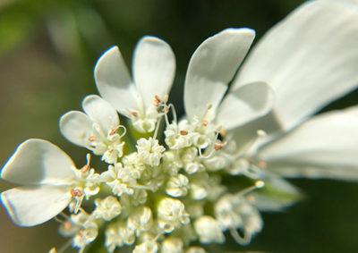 オルレア・ホワイトレースの花