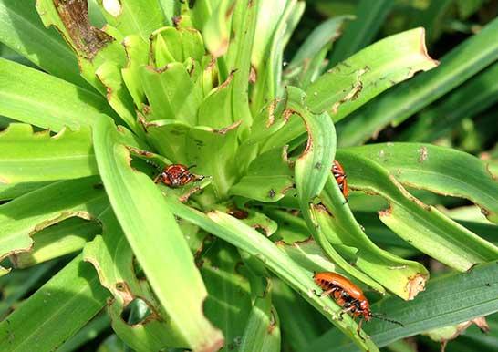 百合の害虫 ユリクビナガハムシ