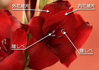 グラジオラスの花の構造