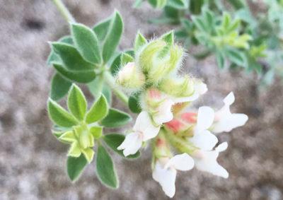 ロータス・ブリムストーンの花