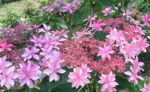 アジサイの花色とPH(酸性度)の関係