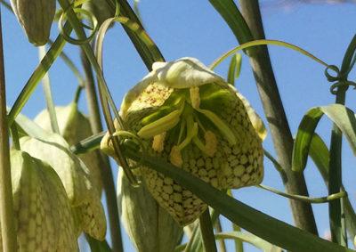 バイモ(アミガサユリ)の花