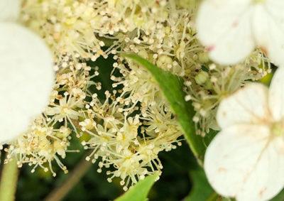 カシワバアジサイの両性花
