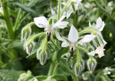 ボリジの白い花