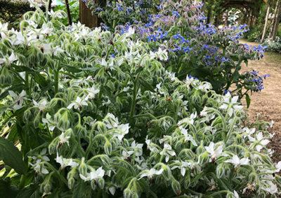 白花と青花のボリジ