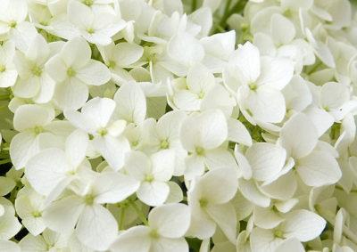 アナベルの装飾花