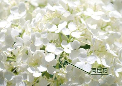 アナベルの両性花
