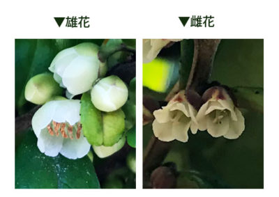 ハマヒサカキの雄花と雌花