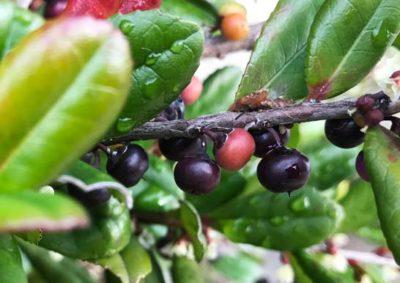 ハマヒサカキの果実