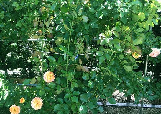 大切な庭を強風から守る…!庭木とバラの台風対策