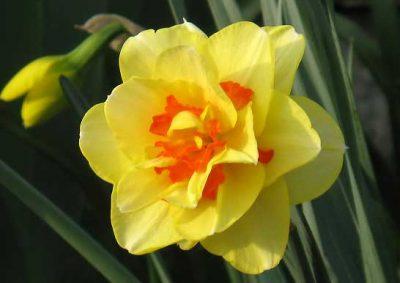 八重咲きスイセン タヒチ