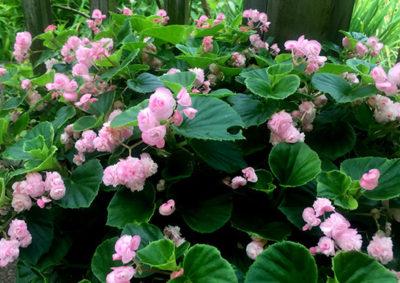 八重咲きベゴニア・センパフローレンス