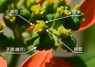 ショウジョウソウ(サマーポインセチア)の杯状花序の構造