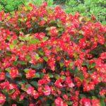 ベゴニア・センパフローレンス(四季咲きベゴニア)