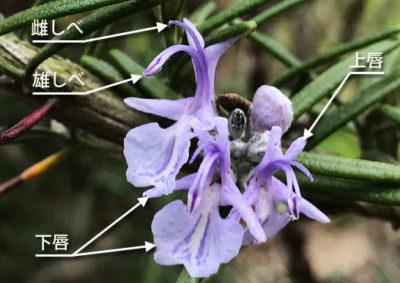 ローズマリーの花の構造